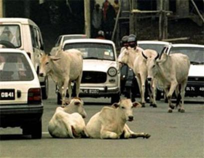 cows-sitting-on-the-road